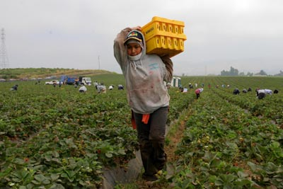 A crew of strawberry pickers is made up of indigenous Mixtec immigrants from Oaxaca.